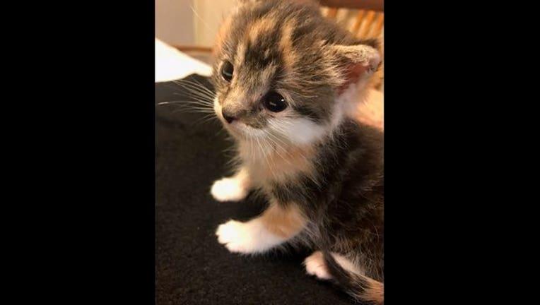 7c3fcac3-kitten Britney Diane_1493567294128.jpg