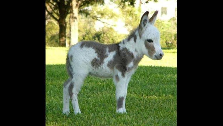 f2b486f5-mini donkey_1457302649344-407068.jpg