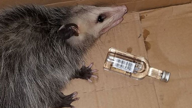 c9da2077-opossum-drinking_Emerald Coast Wildlife Refuge-401720