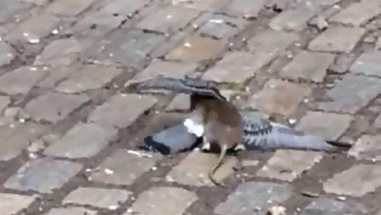44ea16fa-rat-pigeon_1444758944042-402970.jpg