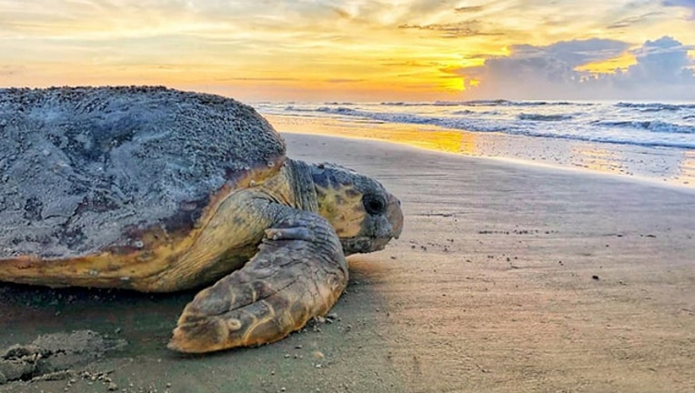 c6a21ea3-sea turtle ga dept natural resources_1563059861017.jpg-401385.jpg