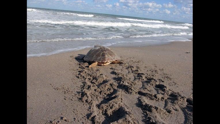 180c1564-sea turtle release_1449694002819-401385-401385.jpg
