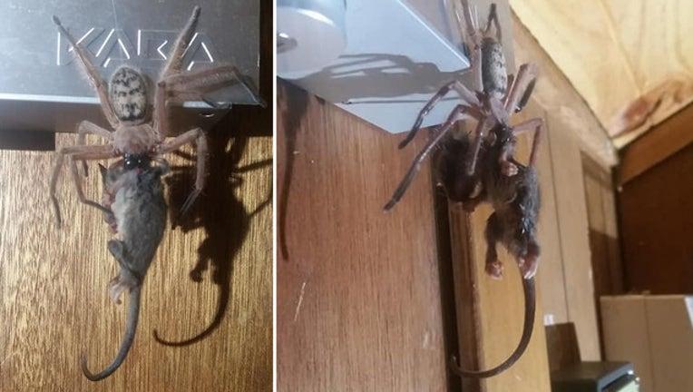 3236bf43-spider and possum_1560943433734.jpg-401385.jpg