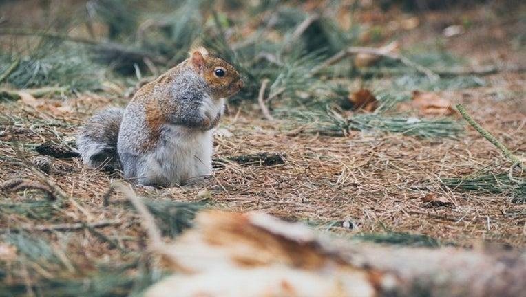 34473313-squirrel_generic_120417_1512391130746-401096.jpg
