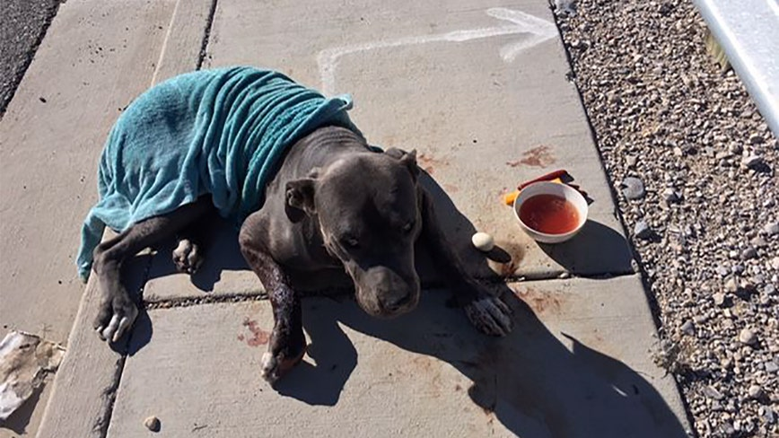 'Unthinkable': Dog found shot in face, left to die on street near Las Vegas