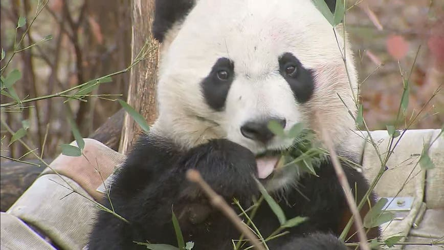 Bei Bei, DC's beloved giant panda, to depart National Zoo for China