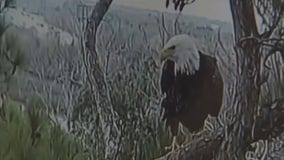 Webster eagles are expecting two eaglets