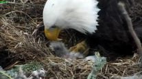 Baby eagle hatches in Webster