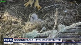 Second eagle hatches in Webster
