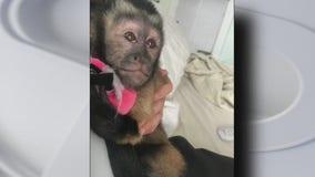 Monkey loose after burglary in Galveston