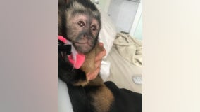 Arrest made for burglary resulting in monkey escape