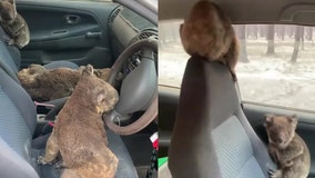 Australian family rescues multiple koalas from wildfires