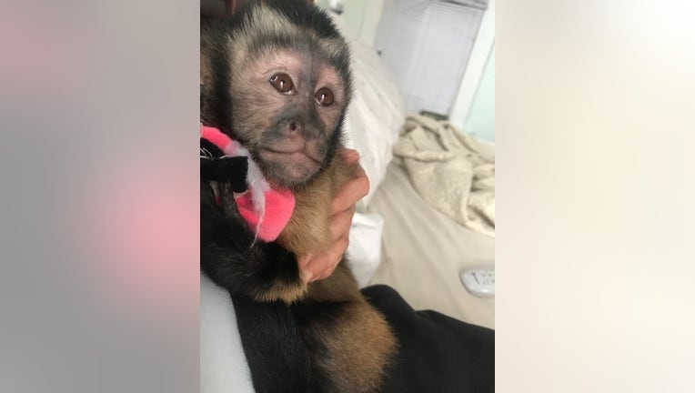 Police say Lilly, a Capuchin monkey who resides at the home located in the area of 19th Street and Sealy,escaped while the homewas being burglarized.