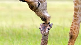 Newborn giraffe appears to get kissed on its forehead from its parents, adorable photos show