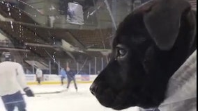 A pit bull pup takes the ice as newest member of Wisconsin hockey team