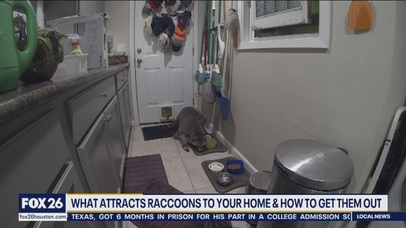 What attracts raccoons to your home & how to get them out