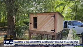 Backyard chickens in demand as panic shopping leads to egg shortage