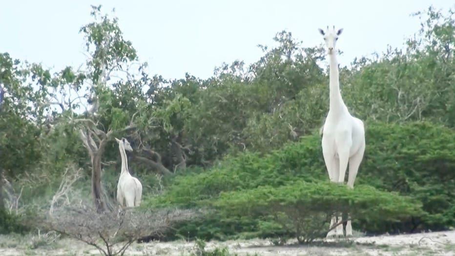 white-giraffe-3.jpg