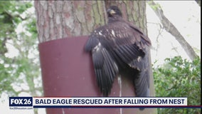Bald eagle rescued after falling from nest