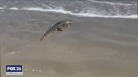 Alligator captured after swimming the waves at Surfside Beach