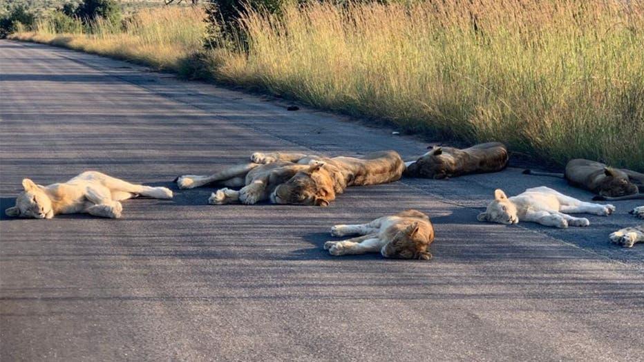 Lions-KNP-3.jpg
