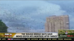 Waugh Bridge bats have moved deeper into Montrose after Harvey