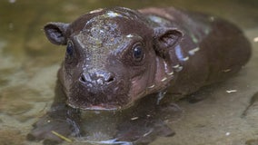 Endangered pygmy hippo born at San Diego Zoo for first time in 30 years