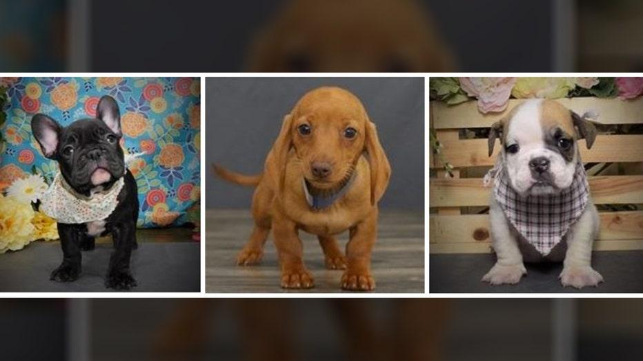 6b4365d1-stolen puppies