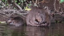 Beavers are living in the wild in England again