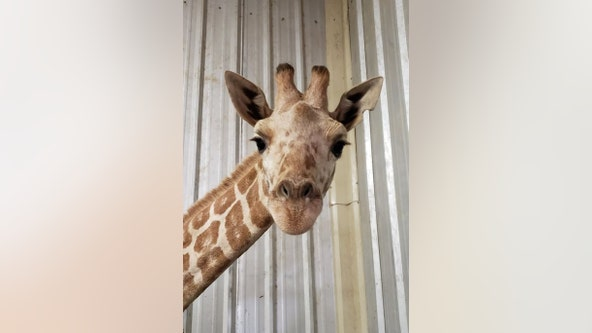 Azizi, April the Giraffe's youngest calf, dies at Texas zoo