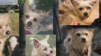Houston couple struck by a vehicle need your help locating their dog who ran away
