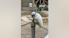 Security footage: Pair of aging birds stolen from California zoo