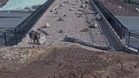 'It's working!' Video shows wildlife crossing bridge built for them to get across highway safely