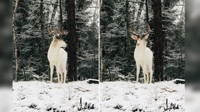 Albino buck photographed in snow-covered backyard in Wisconsin