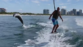 Video shows dolphin leaping alongside foil boarder off southwest Florida coast