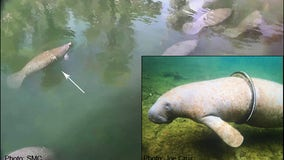 Manatee with bike tire wrapped around torso reappears at Blue Spring State Park tire-free