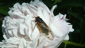 Brood X: Billions of cicadas set to emerge in eastern US after 17 years