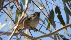 Endangered songbirds are losing their chance to learn mating calls, putting species at risk