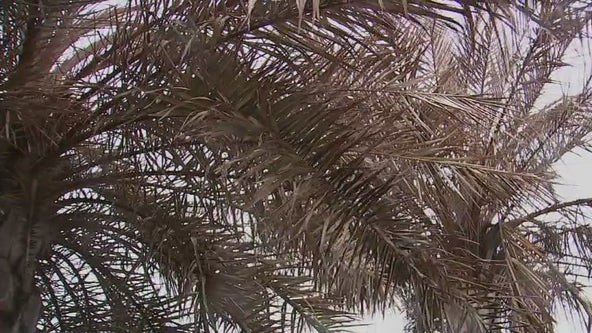 Texans grapple with what to do with frost damaged palms, plants