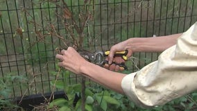 How and when to prune fruit trees after a freeze