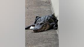 Alligator captured on bridge hours after cow wrangled on Houston-area freeway