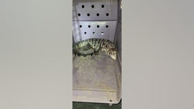 Woman says 25-pound exotic lizard attacked her dog in Willis