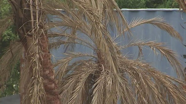 How to tell if your palm trees survived the big freeze