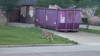 Police search for owner of tiger spotted in Houston neighborhood