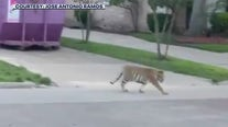 Police arrest alleged owner of tiger seen walking streets of Houston