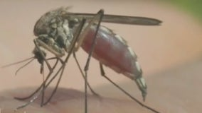 Harris County Health Department says to expect more mosquitoes in the next 5-7 days