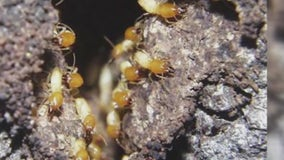 Local experts talk about invasive termite species to watch out for following recent rains