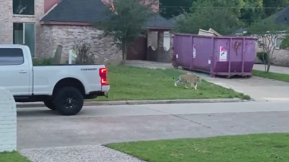 Police searching for owner of tiger spotted in west Houston neighborhood