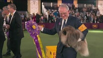 Local chiropractor breaks down canine training for the Westminster Kennel Club Dog Show