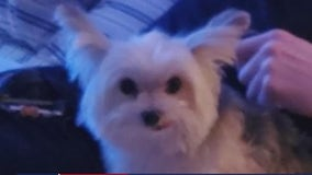 15-year-old teacup Yorkie dog napped from Midtown dog park, owner fears the worst